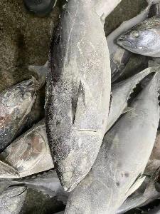 Supplier Fish Frozen Bonito Whole Round